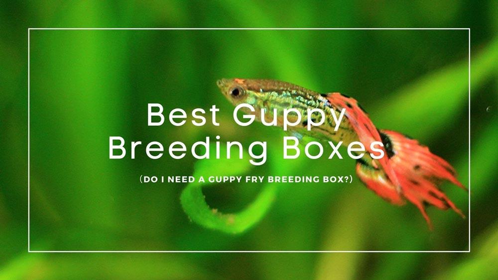 Best Guppy Breeding Boxes