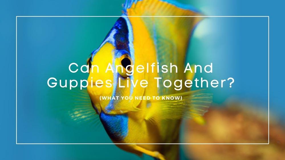 Angelfish And Guppies