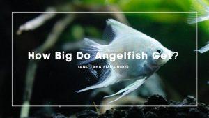 How Big Do Angelfish Get