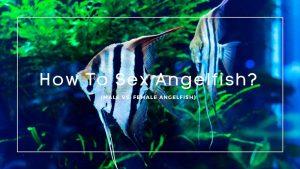 How To Sex Angelfish