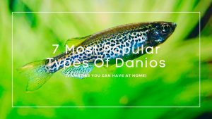 7 Most Popular Types Of Danios