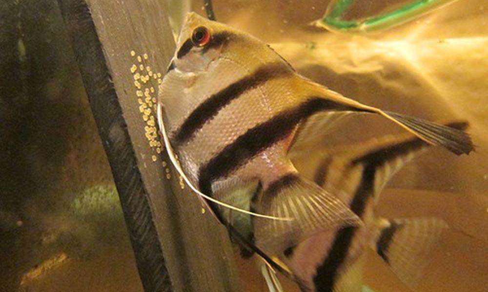 Angelfish spawning