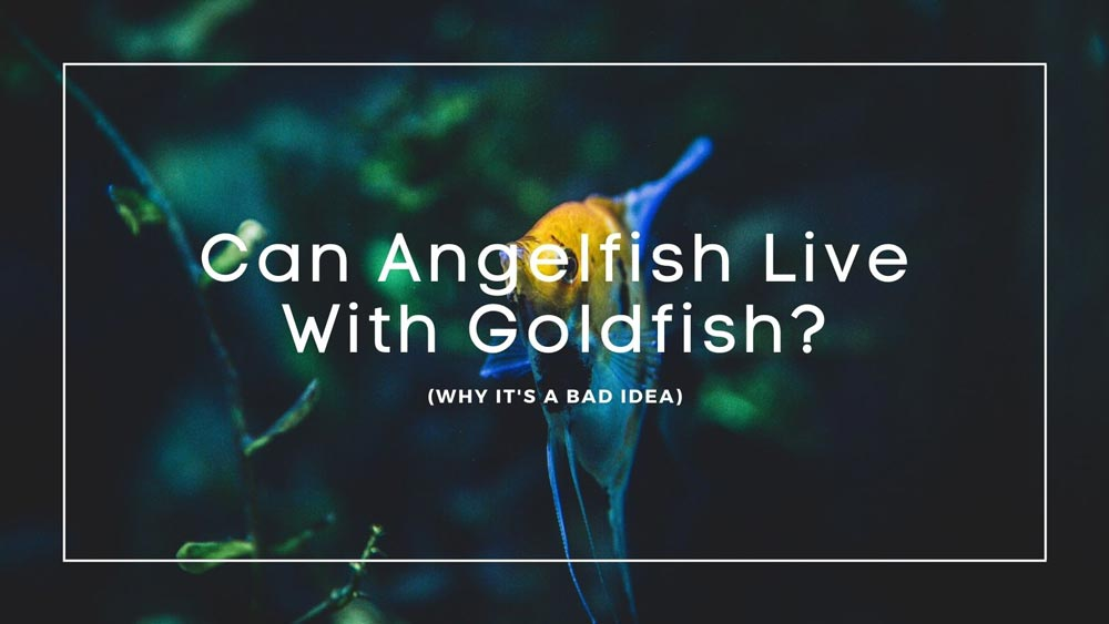 Can Angelfish Live With Goldfish