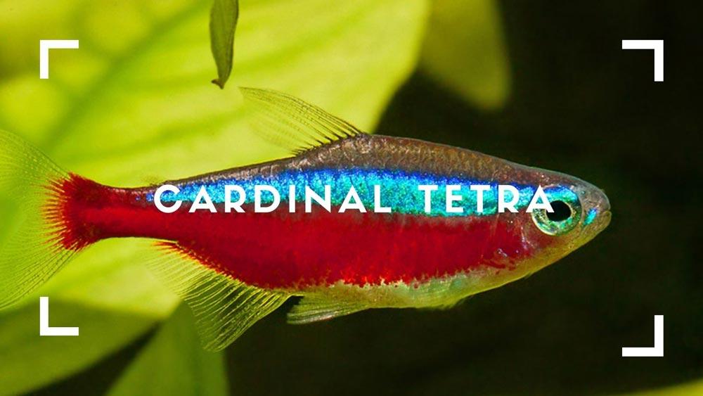 Cardinal Tetra
