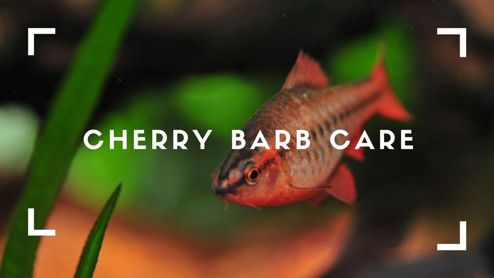 Cherry Barb Care