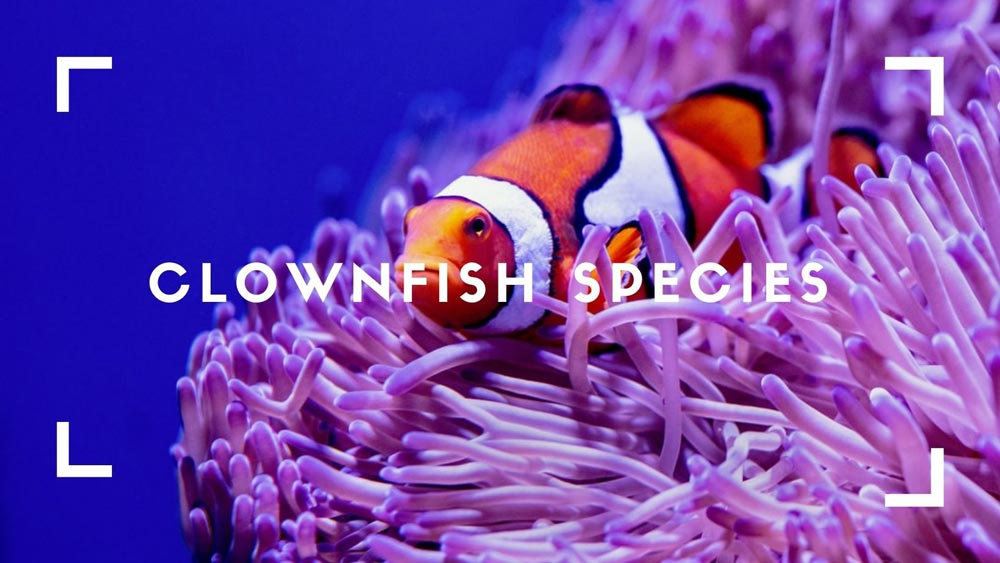 Clownfish Species