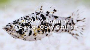 Types of Cory Catfish