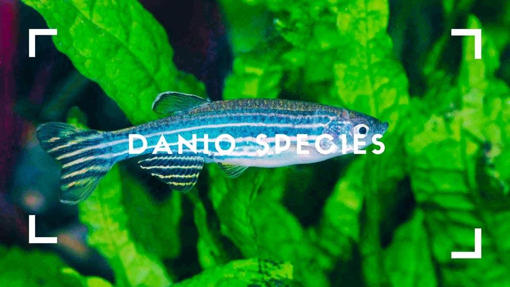 Danio Species
