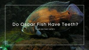 Do Oscar Fish Have Teeth