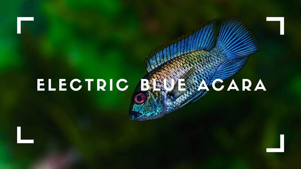 Electric Blue Acara