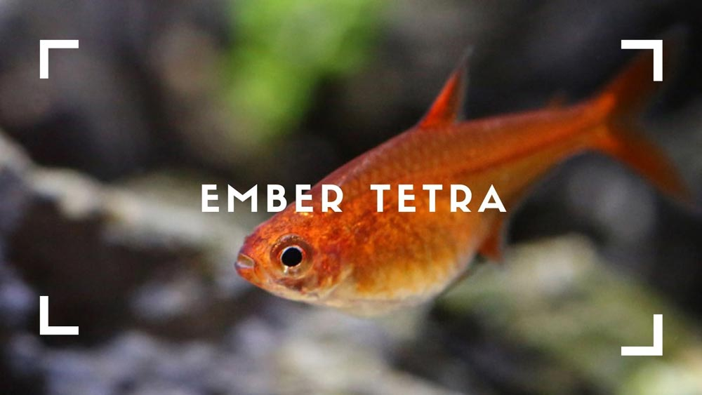 Ember-Tetra