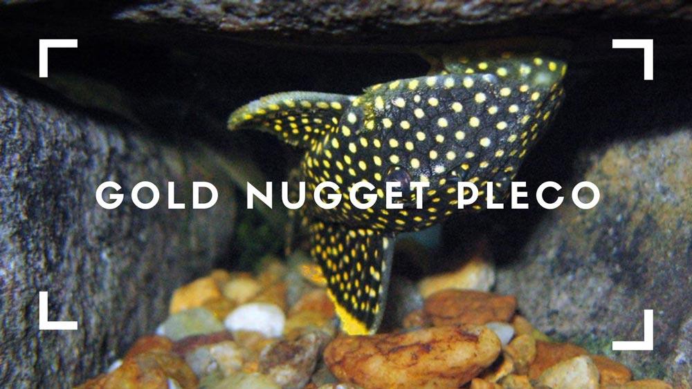 Gold Nugget Pleco
