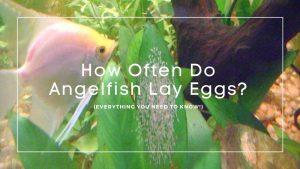 How Often Do Angelfish Lay Eggs