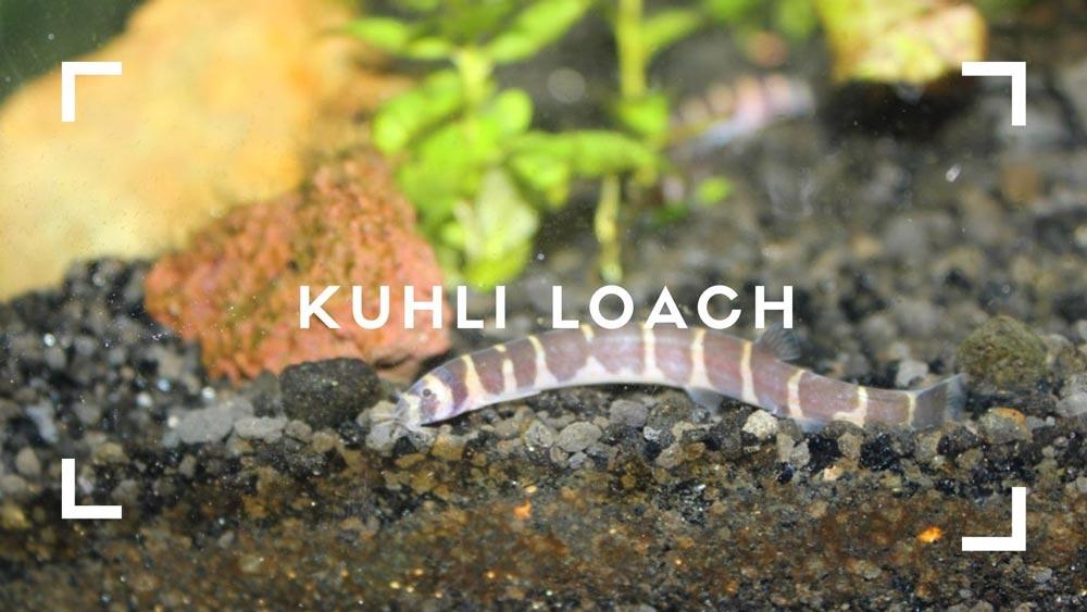 Kuhli Loach