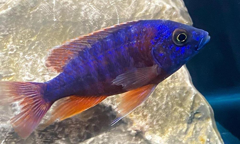 Peacock-Cichlids