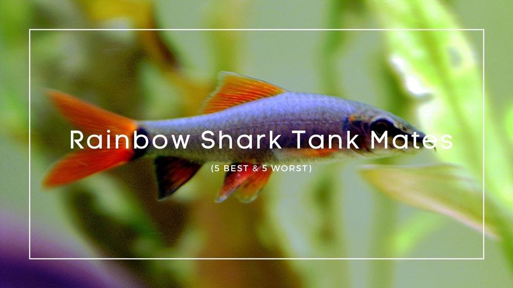 Rainbow Shark Tank Mates
