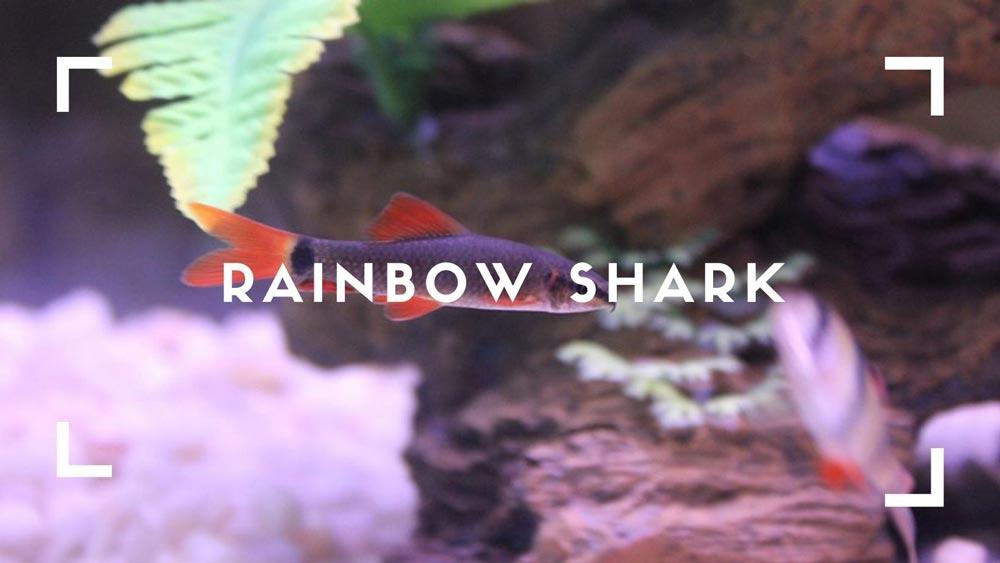 Rainbow-Shark