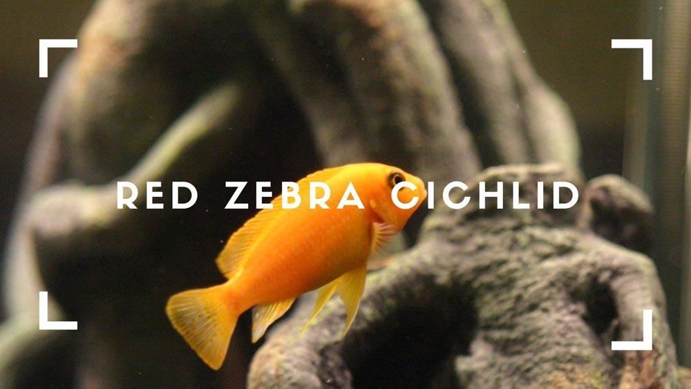 Red Zebra Cichlids