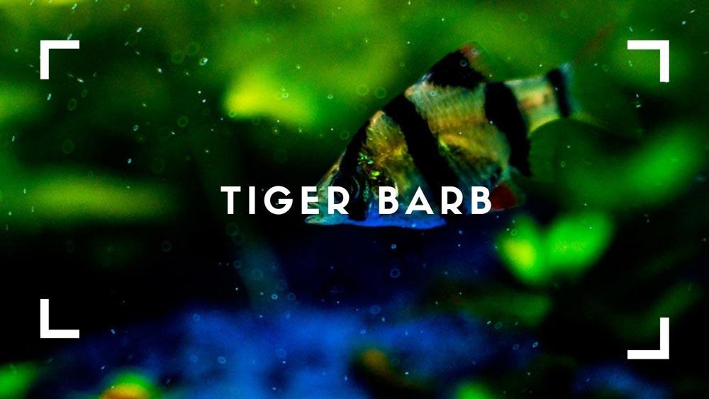 Tiger Barb care