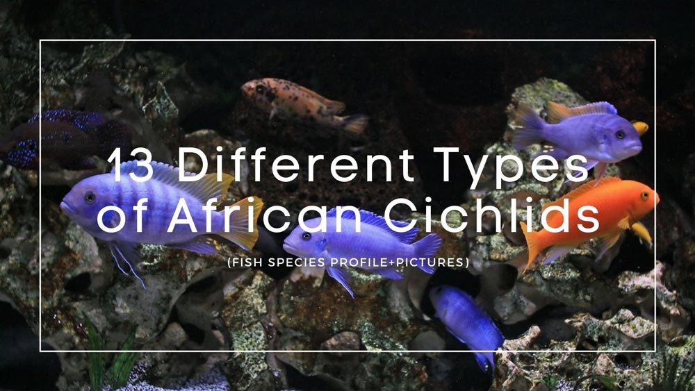 Types of African Cichlids