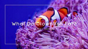 what do clownfish eat