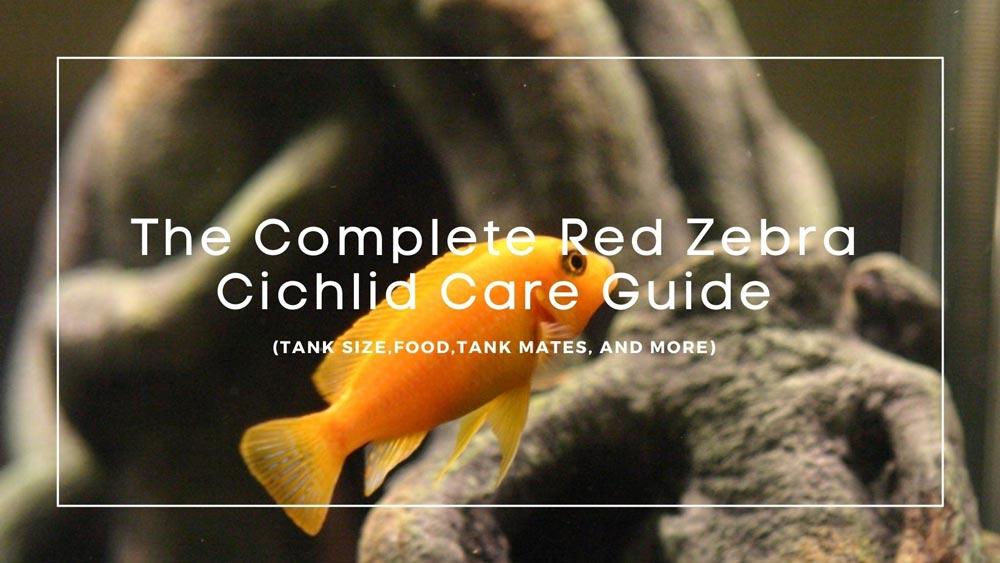 Red Zebra Cichlid