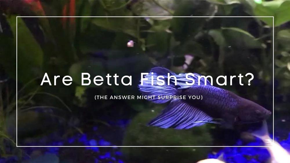 Are Betta Fish Smart