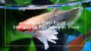 Betta Fish Eggs