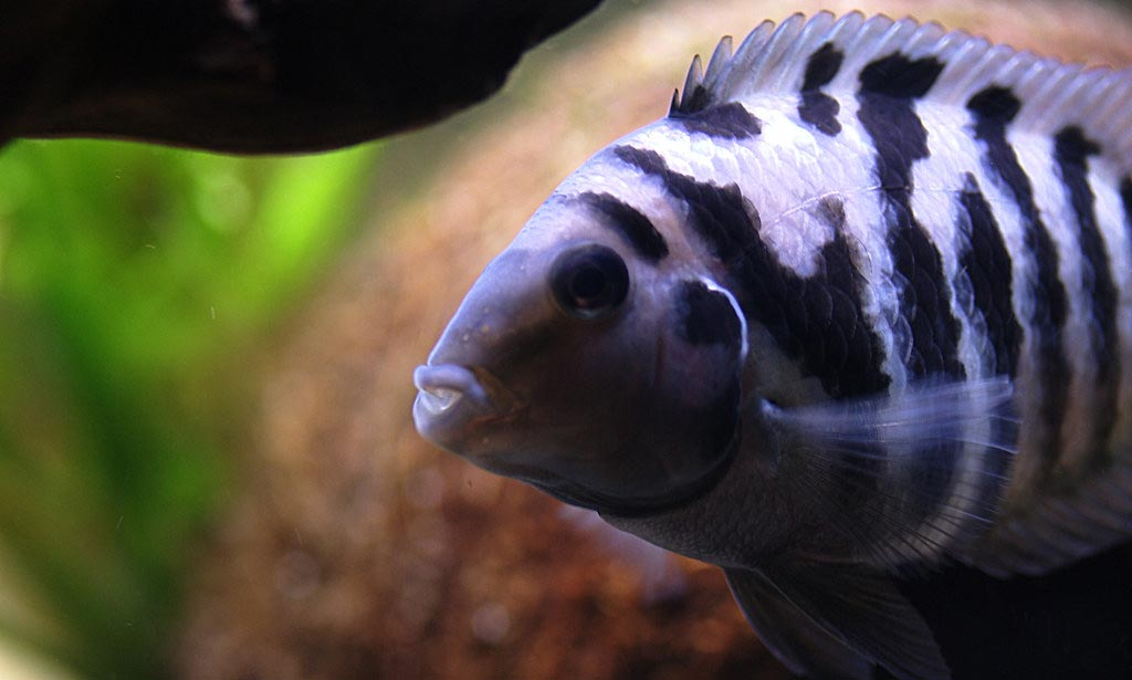 Can Convict Cichlid live with Jack Dempsey?