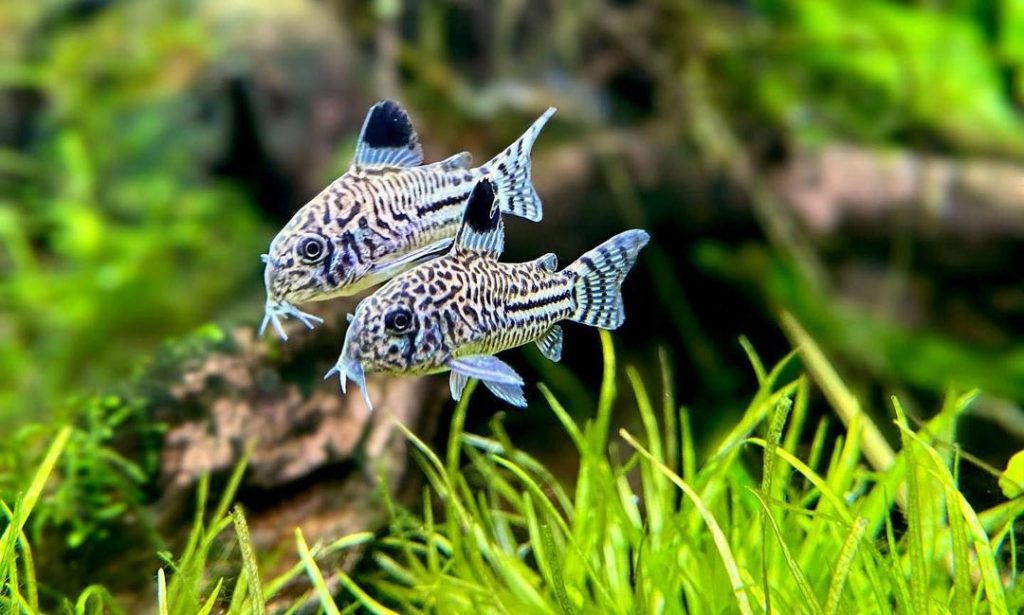 a pair of cory catfishs