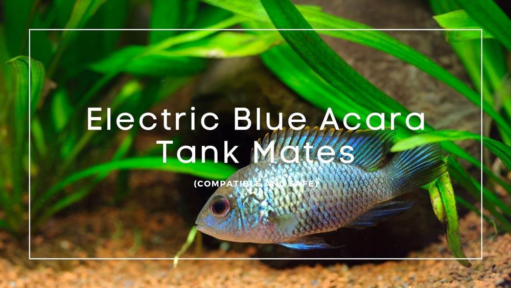 Electric Blue Acara Tank Mates