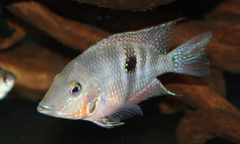 Can Firemouth Cichlid live with Jack Dempsey?