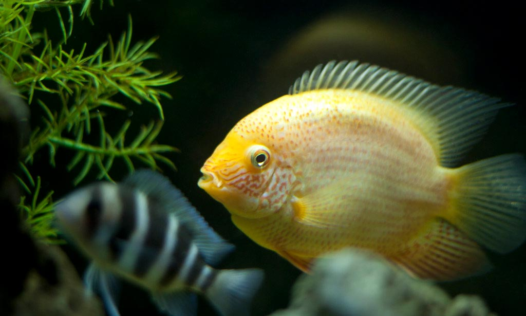 Can Gold Severum live with Jack Dempsey?