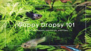 Guppy Dropsy