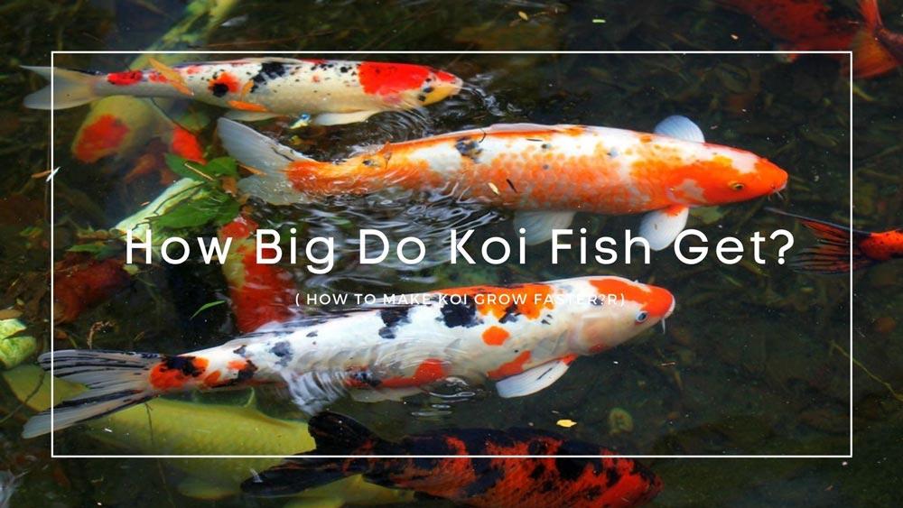 How Big Do Koi Fish Get