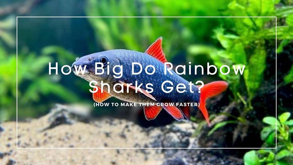 How Big Do Rainbow Sharks Get