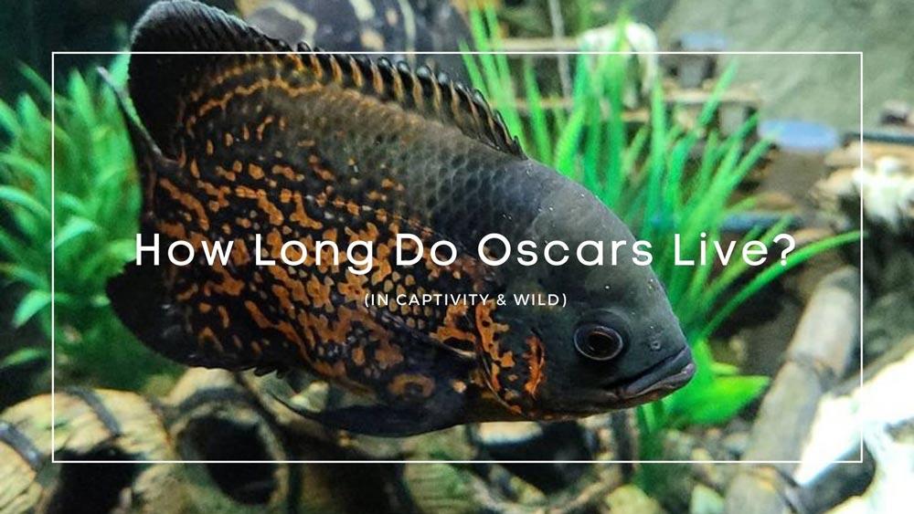 How Long Do Oscars Live
