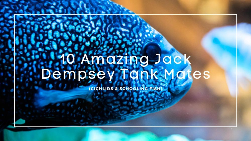 Jack Dempsey Tank Mates