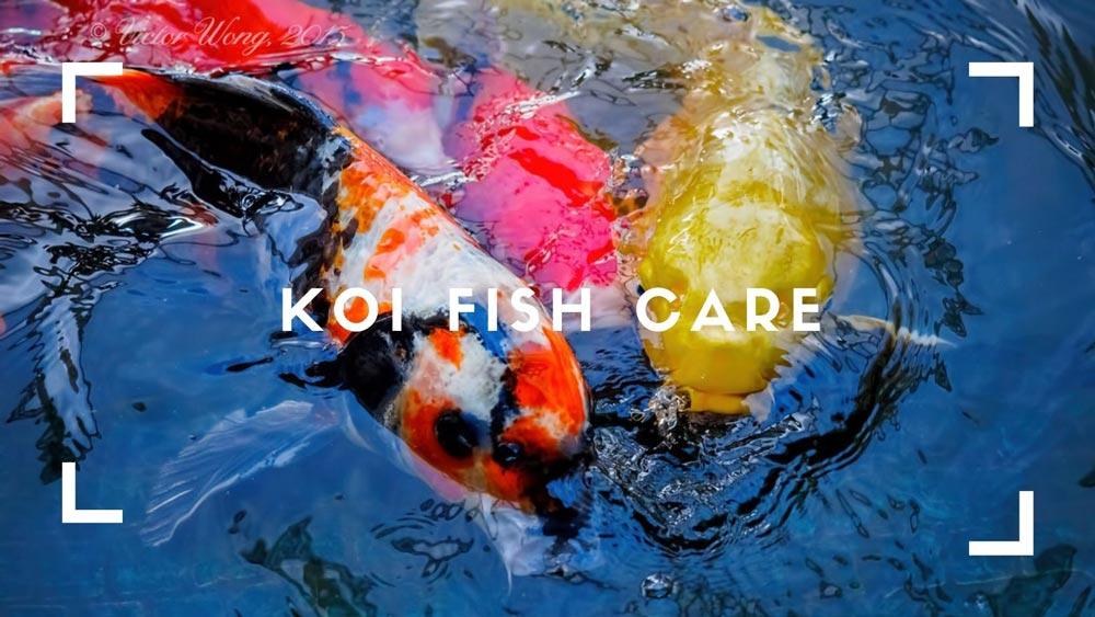 Koi-Fish-Care