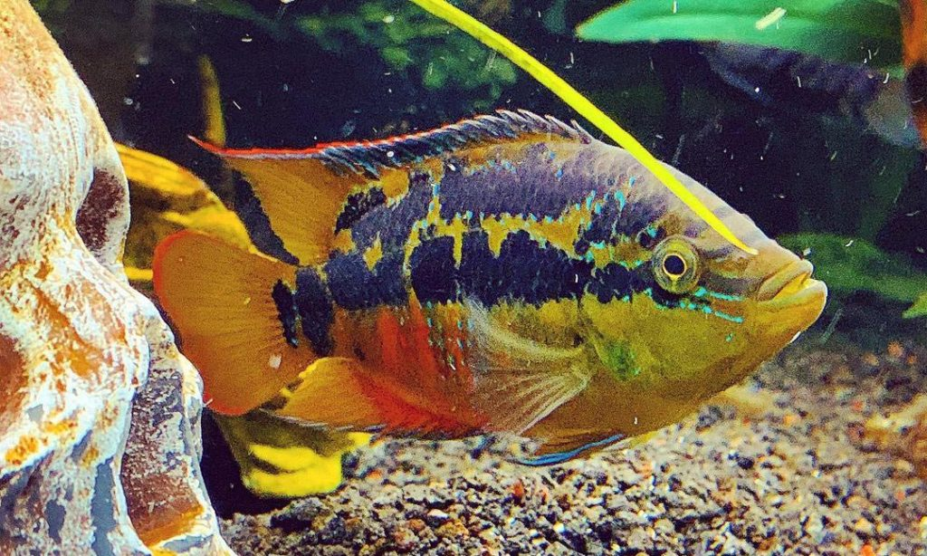 Can Salvini Cichlid live with Jack Dempsey?