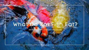 What Do Koi Fish Eat