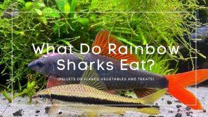 What Do Rainbow Sharks Eat