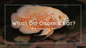 What do Oscars eat
