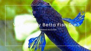Why Did My Betta Fish Die