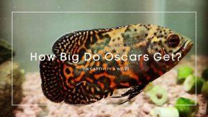 how big do Oscars get