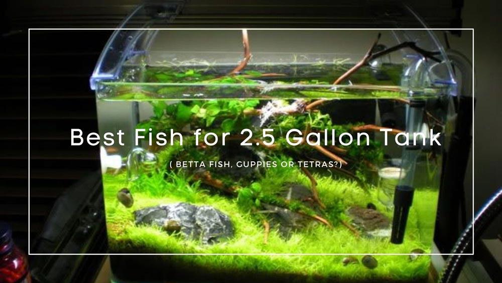 Best Fish for 2.5 Gallon Tank