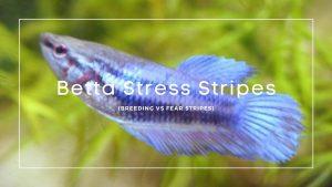 Betta Stress Stripes