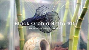 Black Orchid Betta