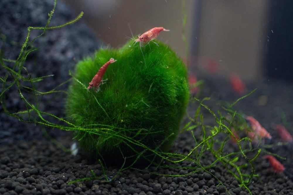 Cherry Shrimp and bettas