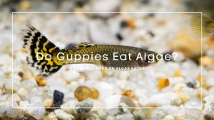 Do Guppies Eat Algae